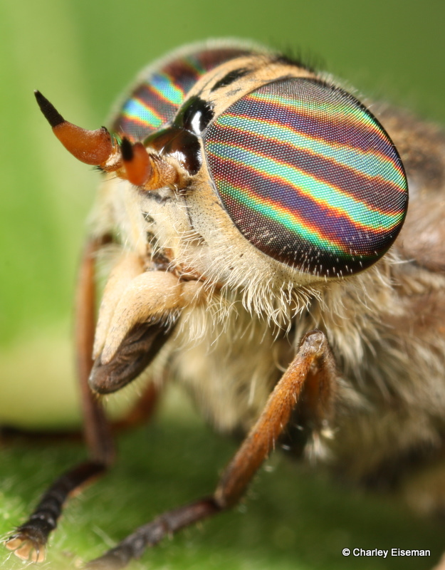 Horse fly (Tabanidae: Hybomitra).